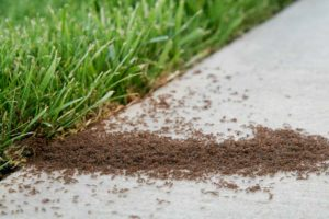 Image of fire ants.