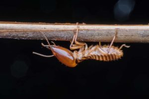 Close-up of a termite