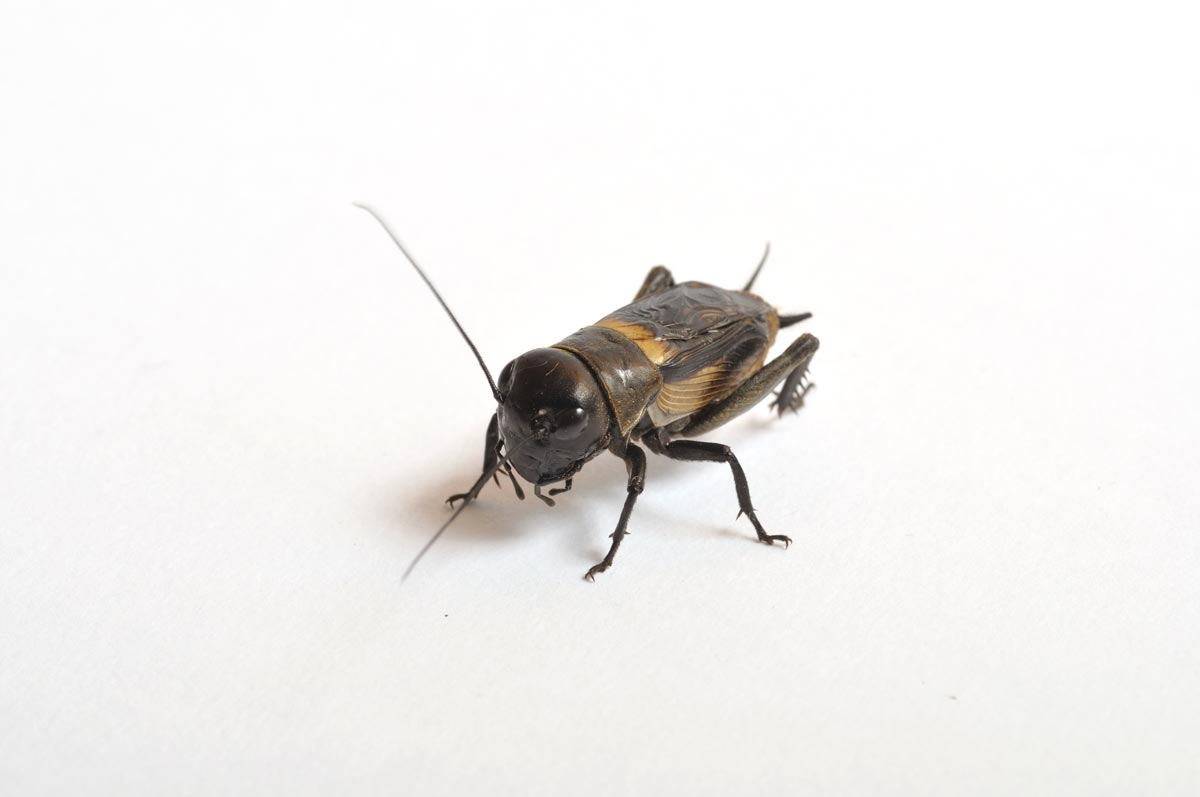 Crickets are not harmful or dangerous to people. Here's some more useful information about crickets.