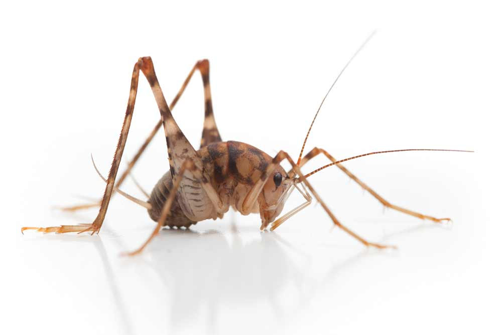 Crickets can get into your house through tiny openings in and around your home. They tend to do this when it gets hot and dry outside.