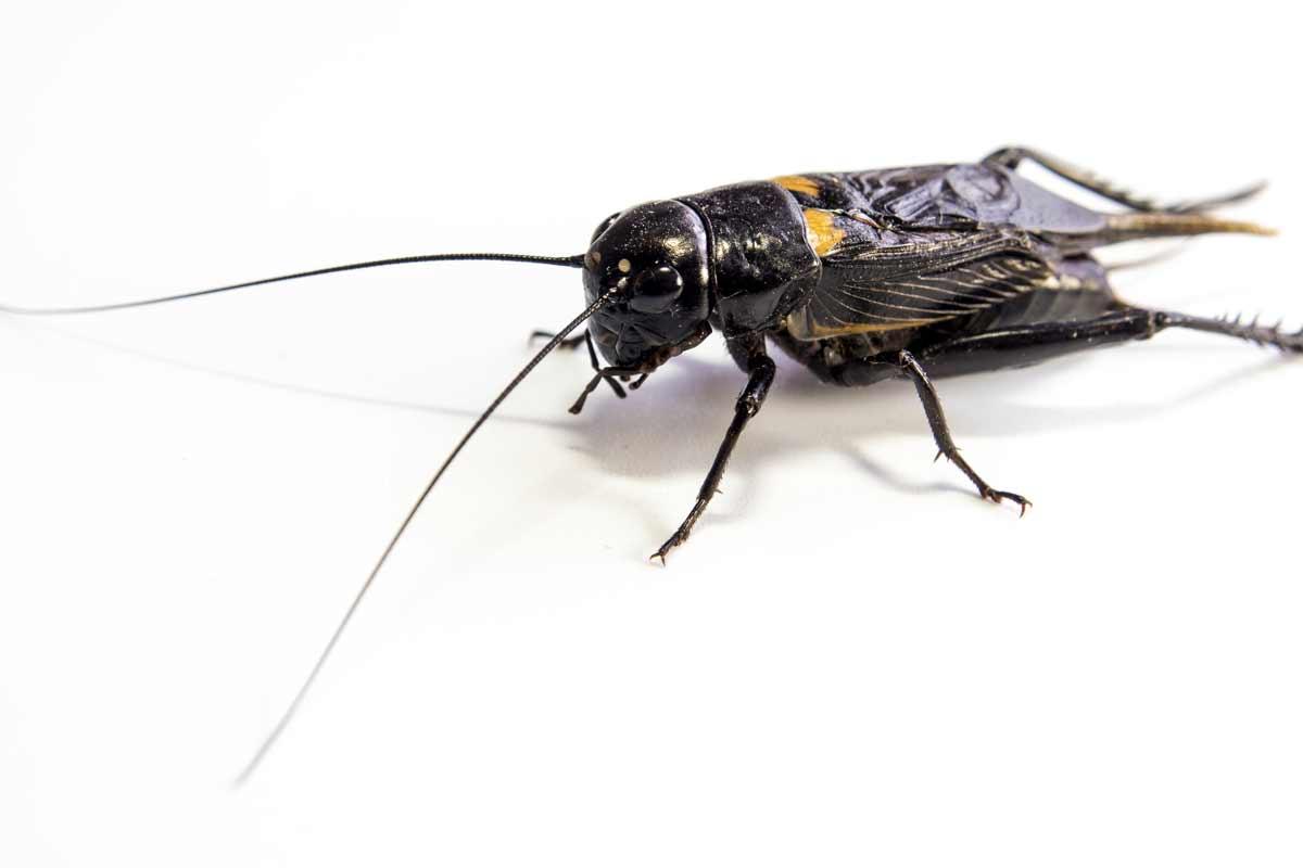 Image of a cricket infestation.