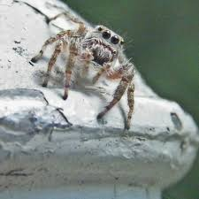 A grey wall jumping spider on a rock