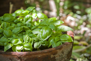 Selective focus image of some green basil plants in an old terracotta pot.