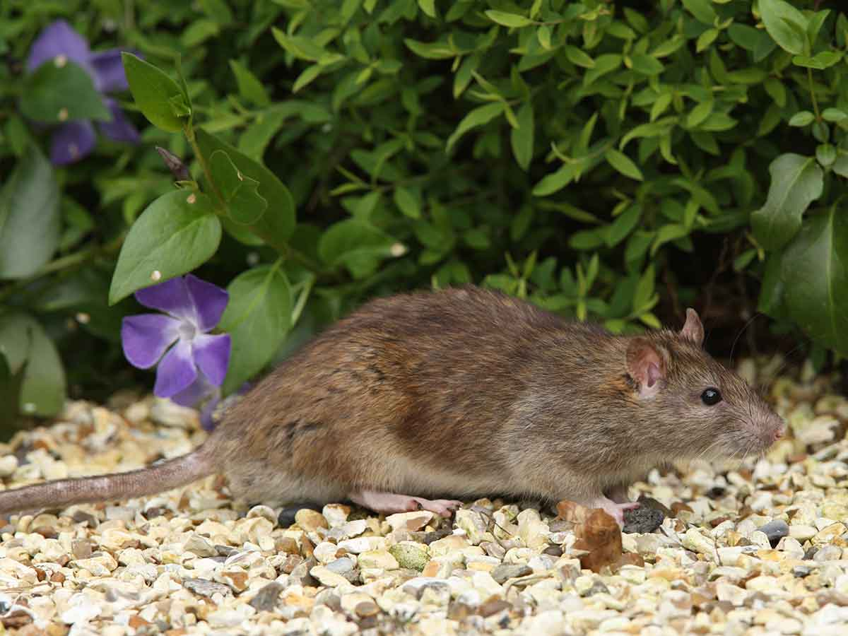 How to get rid of rats from your yard and keep them from coming back