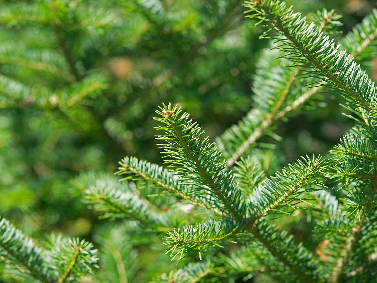 balsam-fir-can-help-to-deter-rats-how-to-get-rid-of-rats-from-your-yard-and-prevent-them-from-coming-back