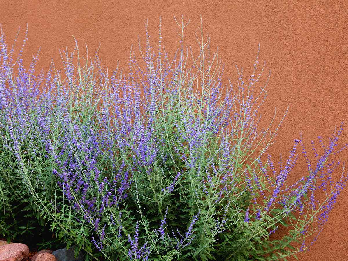 sagebrush-can-help-to-deter-rats-how-to-get-rid-of-rats-from-your-yard-and-prevent-them-from-coming-back