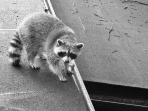 Image of a Raccoon trying to get into a home's attic.